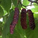 תות עץ פקיסטני